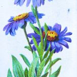 Blue mountain daisy, Aster alpinus, Wills' Alpine Flowers, 1913