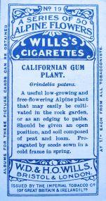 Californian gum plant, Grindelia patens, Wills' Alpine Flowers, 1913