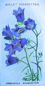 Campanula baumgarten, Wills' Alpine Flowers, 1913