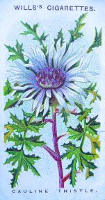 Carline thistle, Carlina acaulis, Wills' Alpine Flowers, 1913