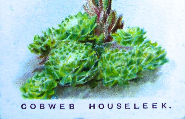 Cobweb houseleek, Sempervivum arachnoideum, Wills' Alpine Flowers, 1913