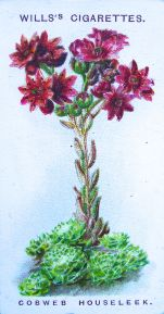 Cobweb houseleek, Sempervivum arachnoideum, Wills' Alpine Flowers, 1913