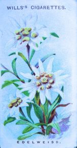 Edelweiss, Leontopodium alpinum, Wills' Alpine Flowers, 1913
