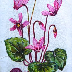European cyclamen, Cyclamen europaeum, Wills' Alpine Flowers, 1913