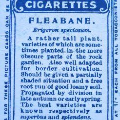 Fleabane, Erigeron speciosum, Wills' Alpine Flowers, 1913