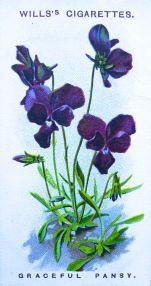 Graceful pansy, Viola gracilis, Wills' Alpine Flowers, 1913