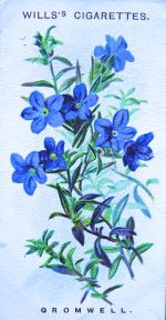 Gromwell, Lithospermum prostratum, Wills' Alpine Flowers, 1913