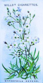 Gypsophila repens, Wills' Alpine Flowers, 1913