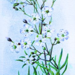 Gypsophila repens, Wills' Alpine Flowers, 1913