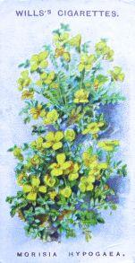 Morisia hypogaea, Wills' Alpine Flowers, 1913