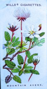 Mountain avens, Dryas octopetala, Wills' Alpine Flowers, 1913
