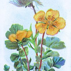Mountain avens, Geum montanum, Wills' Alpine Flowers, 1913