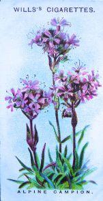 Mountain catchfly, Lychnis alpestris, Wills' Alpine Flowers, 1913