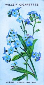Mountain forget me not, Myosotis alpestris, Wills' Alpine Flowers, 1913