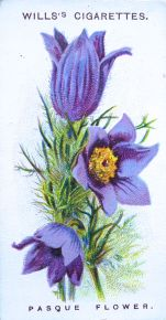 Pasque flower, Anemone pulsatilla, Wills' Alpine Flowers, 1913