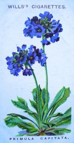 Primula capitata, Wills' Alpine Flowers, 1913