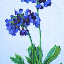 Primula capitata, Wills' Alpine Flowers, 1913