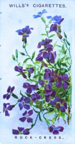 Rock cress, Aubrietia deltoidea, Wills' Alpine Flowers, 1913