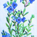 Rock speedwell, Veronica saxatilis, Wills' Alpine Flowers, 1913