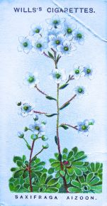 Saxifraga aizoon, Wills' Alpine Flowers, 1913