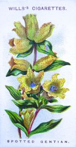 Spotted gentian, Gentiana punctata, Wills' Alpine Flowers, 1913