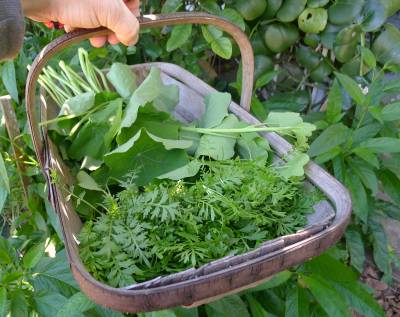On 4th August I made swinecress & nasturtium pesto for my audience at 'What's Cooking in the Gardens?