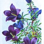Thyme-leaved harebell, Wahlenbergia serpyllifolia, Wills' Alpine Flowers, 1913