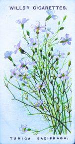 Tunica saxifraga, Wills' Alpine Flowers, 1913