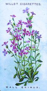 Wall erinus, Erinus alpinus, Wills' Alpine Flowers, 1913