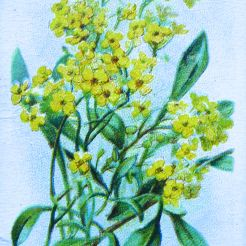 Yellow Alyssum, Alyssum saxatile, Wills' Alpine Flowers, 1913