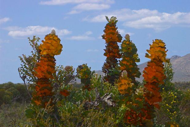 Hakea victoria, Fitzgerald River National Park, Western Australia