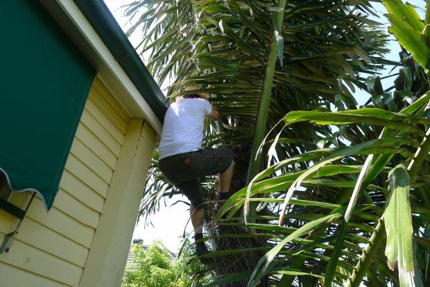 First attempt at tapping palm sugar (Arenga pinnata)