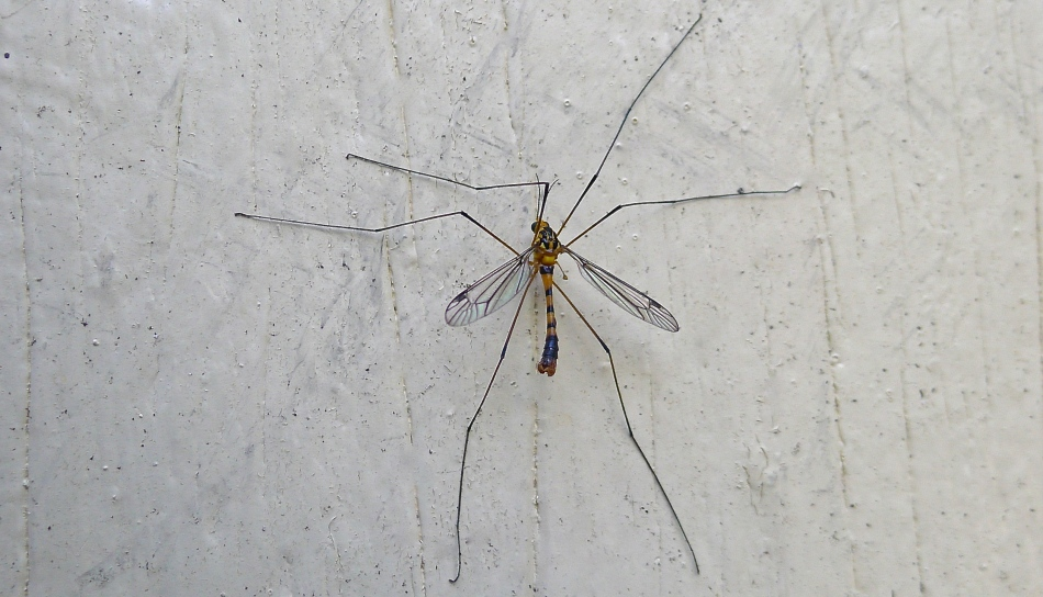 Species 399 at 'Bellis': Crane fly, Nephrotoma australasiae
