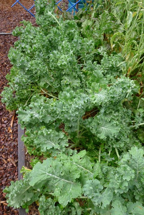 Kale Brassica oleracea (Acephala group) 'Two Peters'