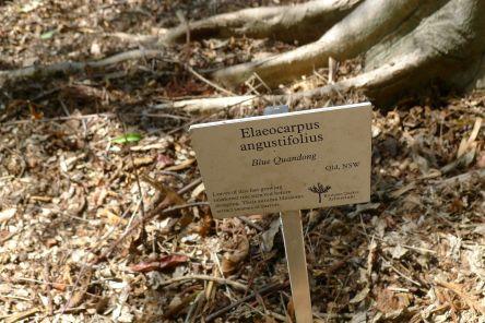 Blue Quandong, Elaeocarpus angustifolius
