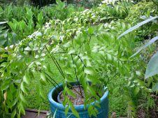 Dinosaur food: Bowenia serrulata, Byfield fern
