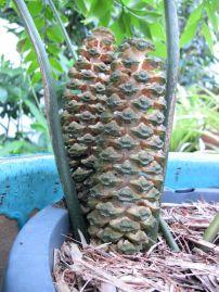 Male cone, Bowenia serrulata, Byfield fern