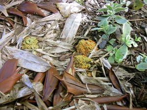 coralloid roots of Encephalartos ferox