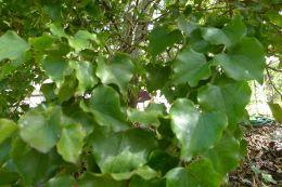 Crown of Gold, Barklya syringifolia