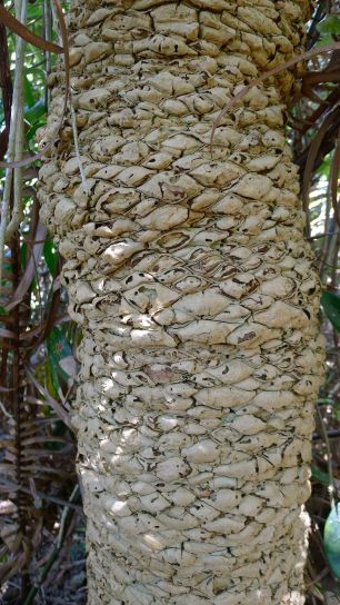 'bark' of Lepidozamia peroffskyana, near Byron Bay