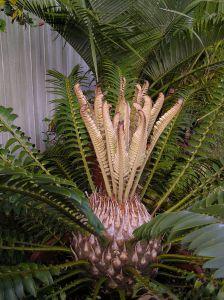 Encephalartos altensteinii new fronds