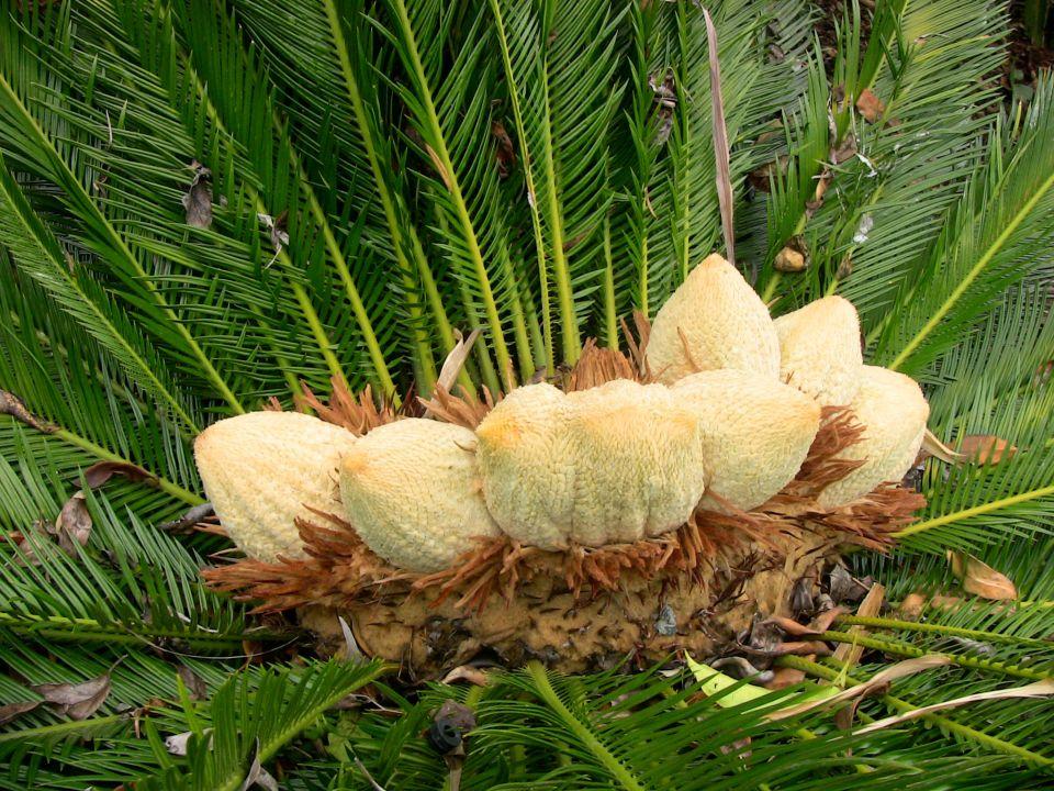 male cones of Cycas revoluta, Southbank