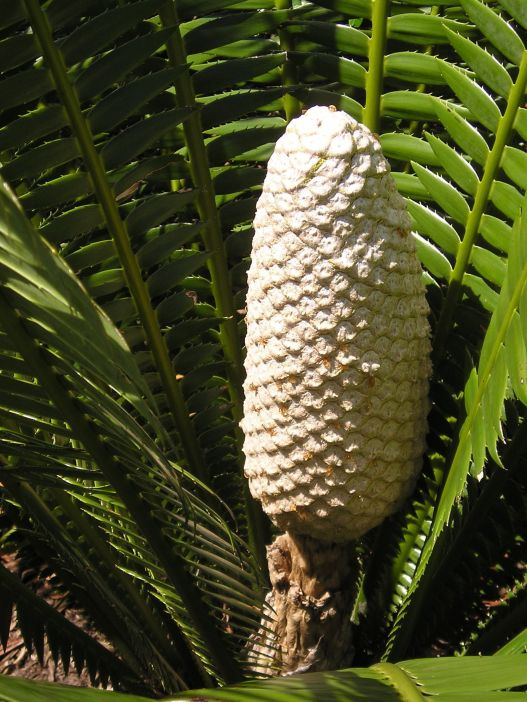 Dioon spinulosum in cone