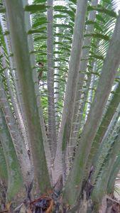 Encephalartos whitelockii, NongNooch Tropical Garden, Thailand
