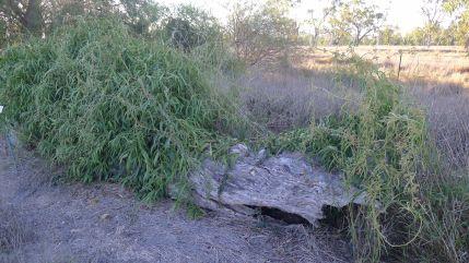 Gargaloo, Parsonsia eucalyptophylla