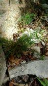 Hoop pine seedlings, Araucaria cunninghamii