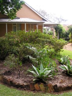 Hope's cycad, Lepidozamia hopei, Ormiston House