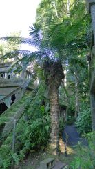 Hope's cycad, Lepidozamia hopei, Paronella Park