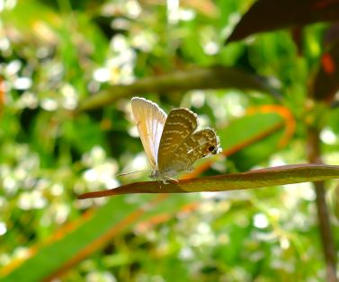 Cycad Blue Butterfly, Theclinesthes onycha