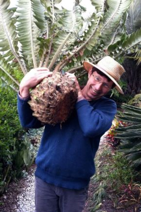 Propagating Encephalartos altensteinii for Gardening Australia